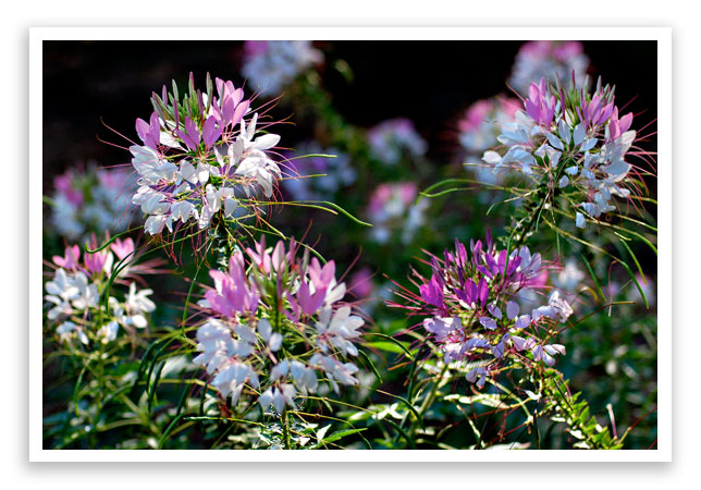 cleome spider plant