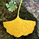 All I want for Christmas is a Ginkgo.