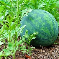 volunteer-watermelon-featuredb