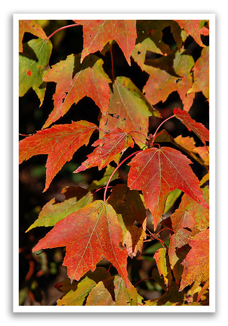 fallleafcolor8