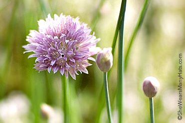 How to Grow Chives shewearsmanyhats.com