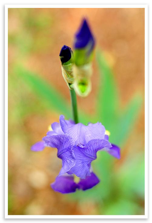 Growing Iris