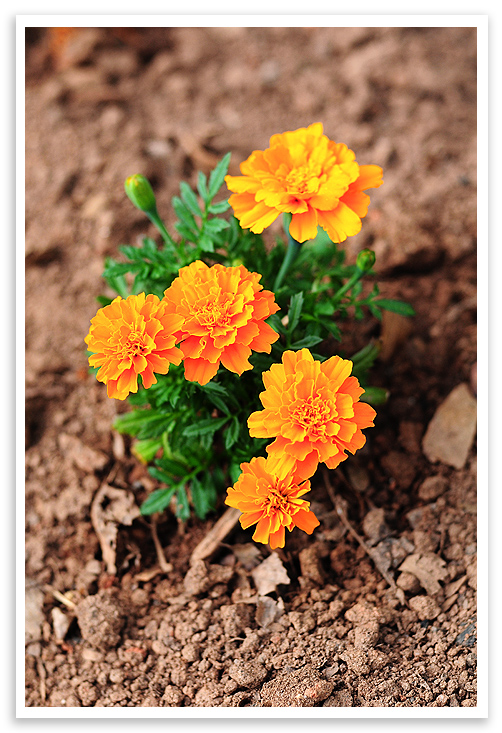 Tips For Growing Marigolds She Wears Many Hats