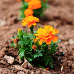 Tips for growing Marigolds