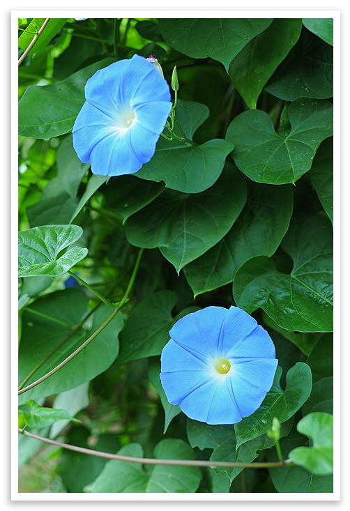 Growing morning glory morning glory are easy to grow theyre tolerant of poor soil and prefer full sun and grow in a variety of colors violets pinks and white among others mightylinksfo