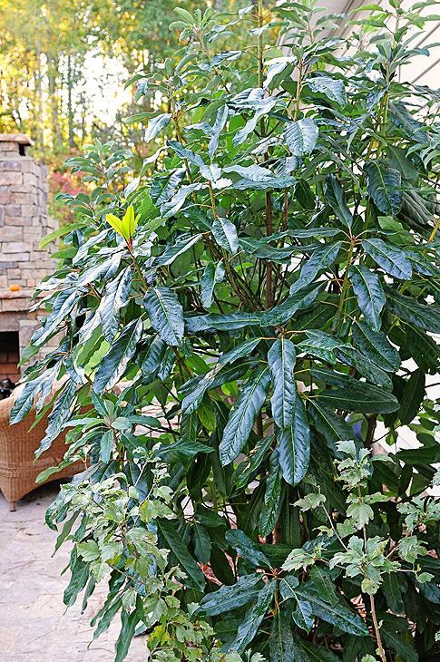 Redneck Rhododendron