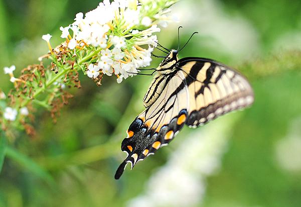 Plan a Butterfly Garden