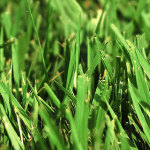 prevent crabgrass annual weeds