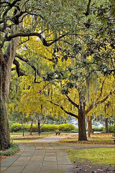 ginkgo trees in savannah ga