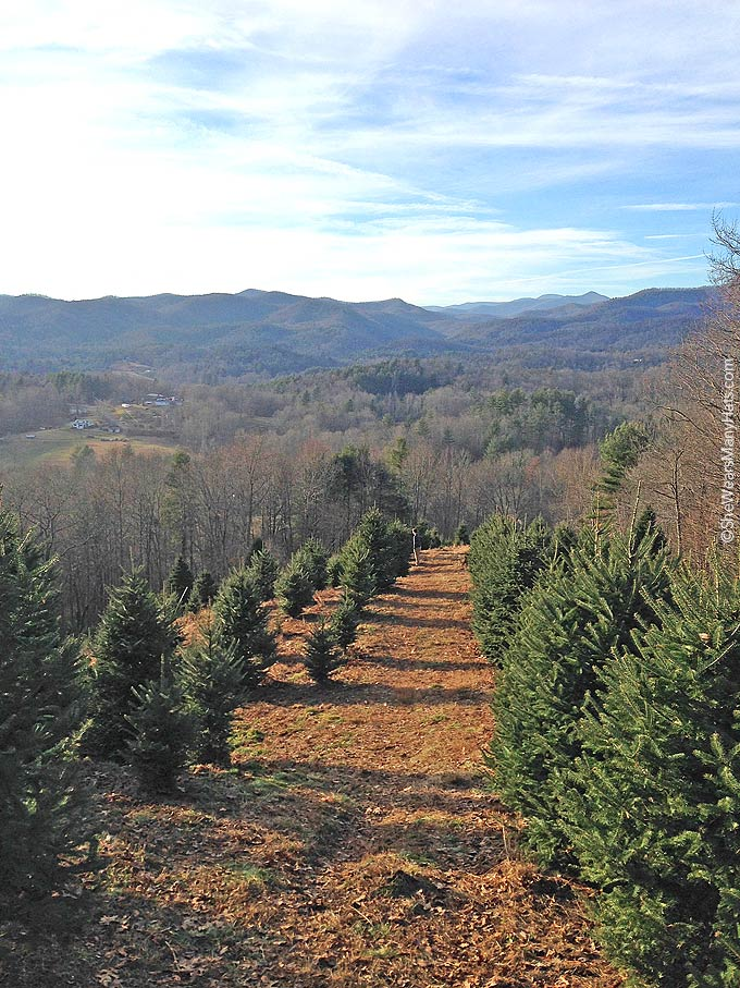 A day of Christmas Tree hunting in the Mountains of NC | shewearsmanyhats.com
