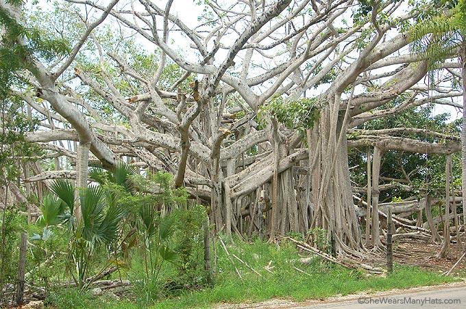 banyan tree bahamas