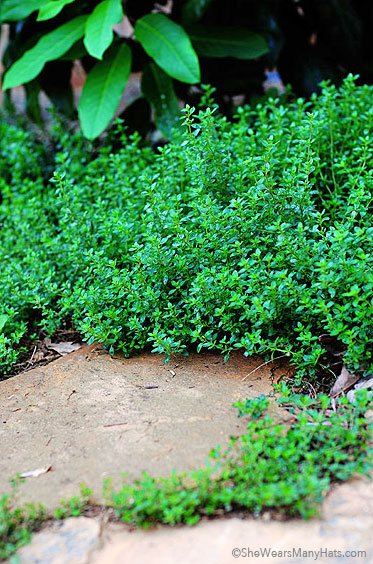 Tips for Growing Thyme